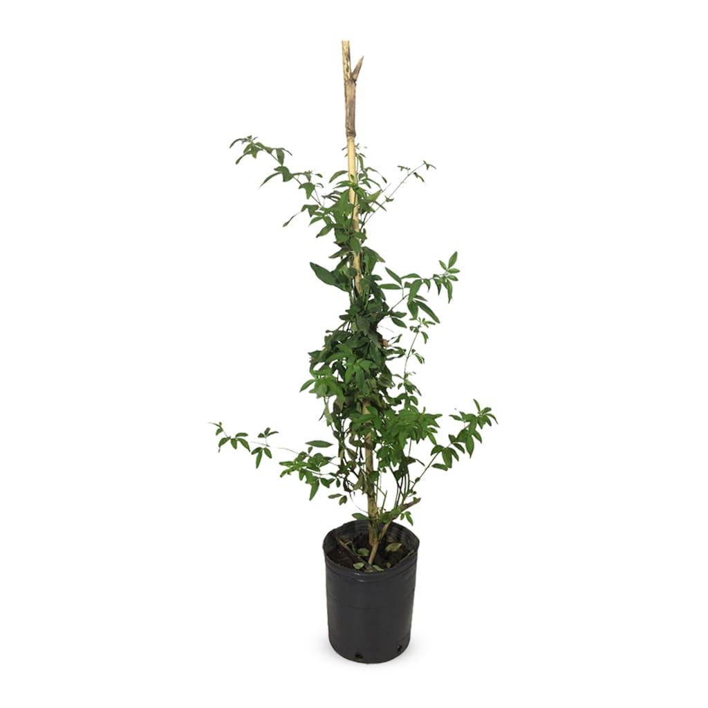 Plantas Faitful Plantas Exterior Jazmin Amarillo M - Plantas Faitful