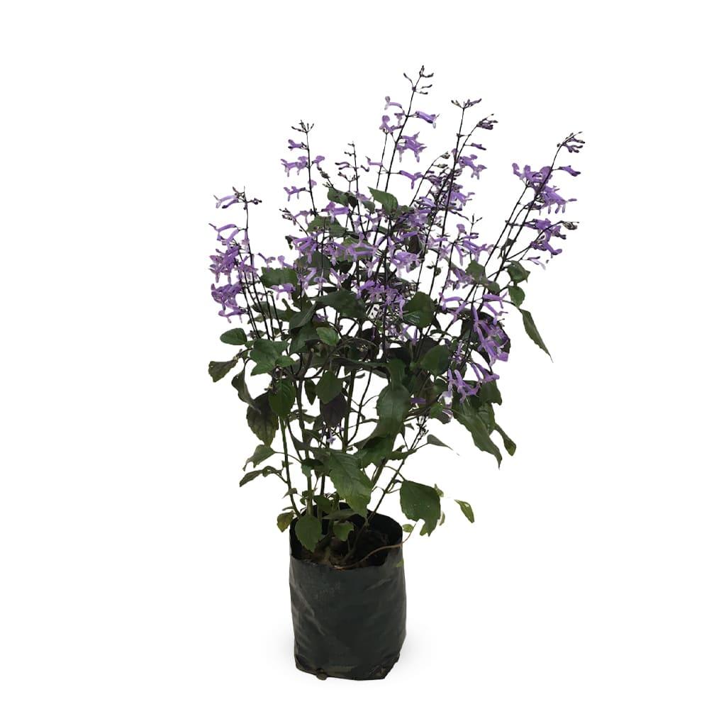 Plantas Faitful Plantas Exterior Plectranthus M - Plantas Faitful