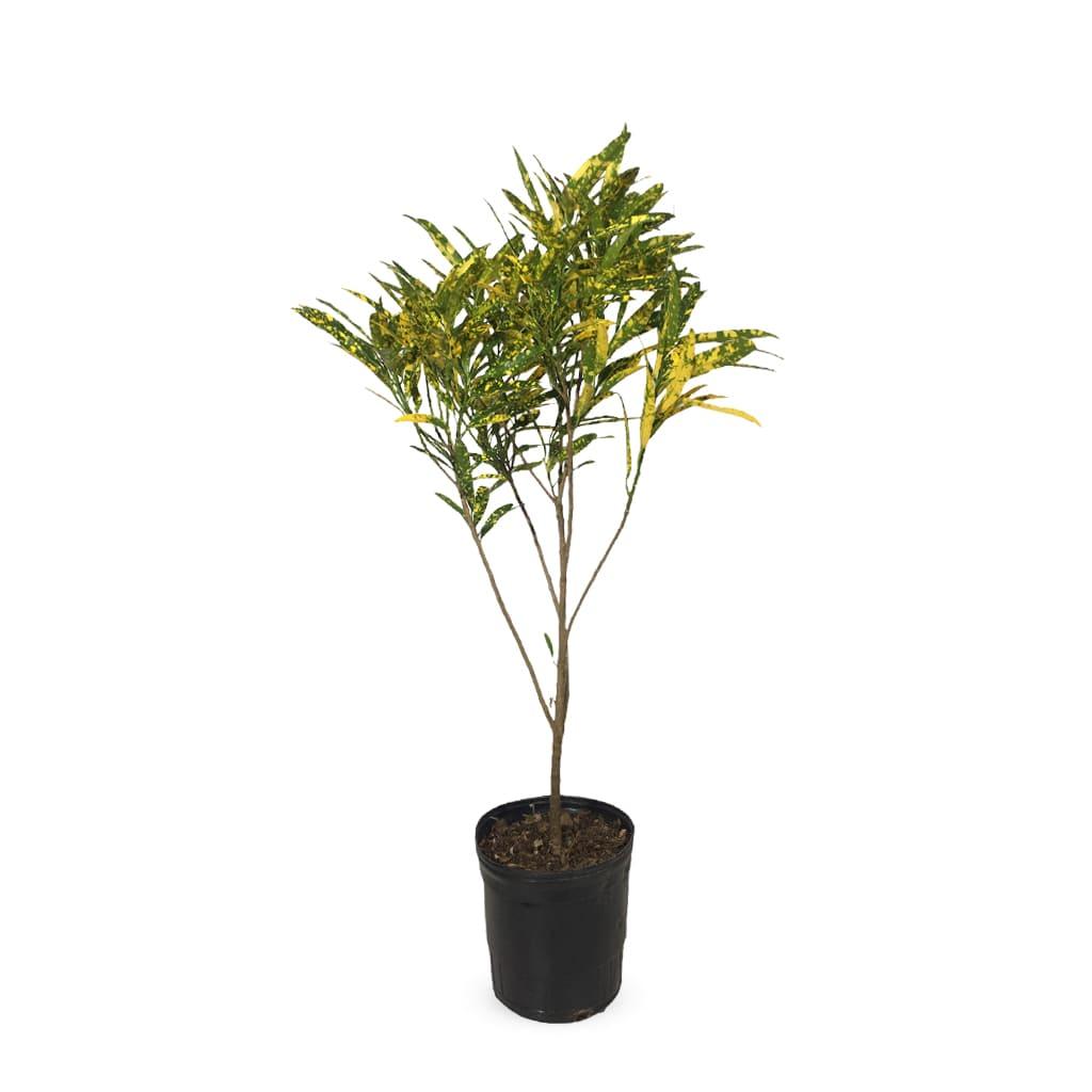 Plantas Faitful Plantas Interior Croton Fideo M - Plantas Faitful