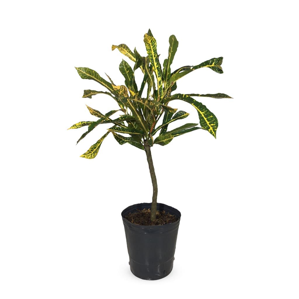 Plantas Faitful Plantas Interior Croton M - Plantas Faitful