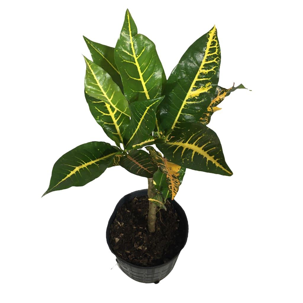 Plantas Faitful Plantas Interior Croton Norma M 2 - Plantas Faitful