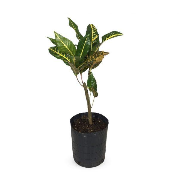 Plantas Faitful Plantas Interior Croton Norma M - Plantas Faitful