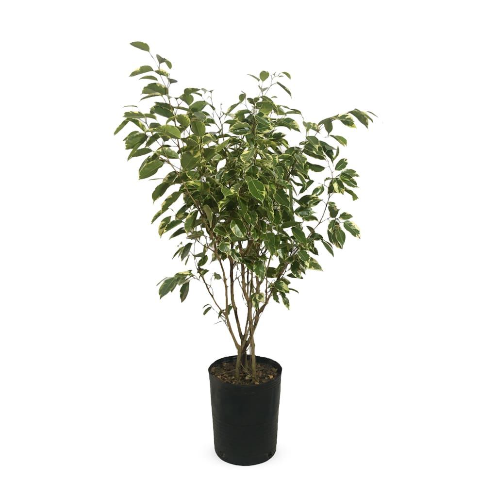 Plantas Faitful Plantas Interior Ficus Variegado XL - Plantas Faitful