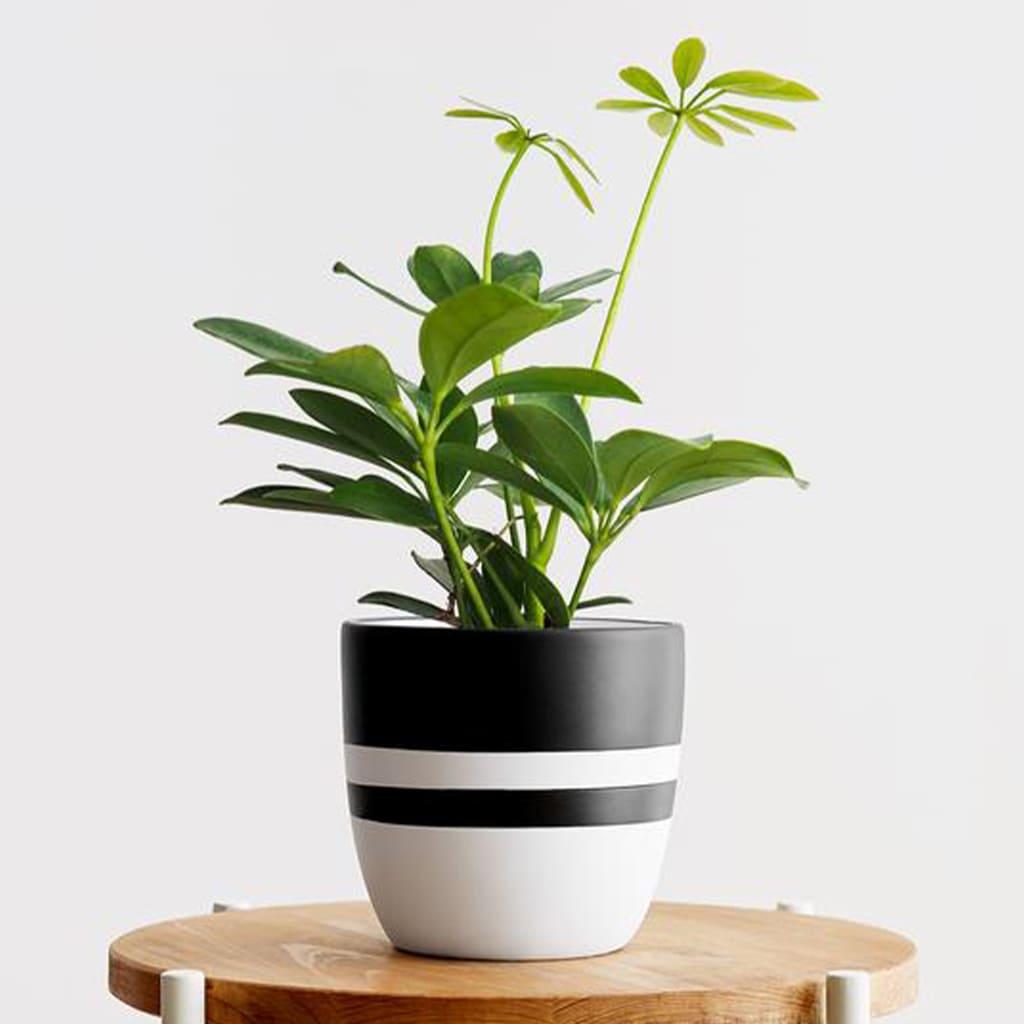 Plantas Faitful Plantas Interior Schefflera M12 - Plantas Faitful