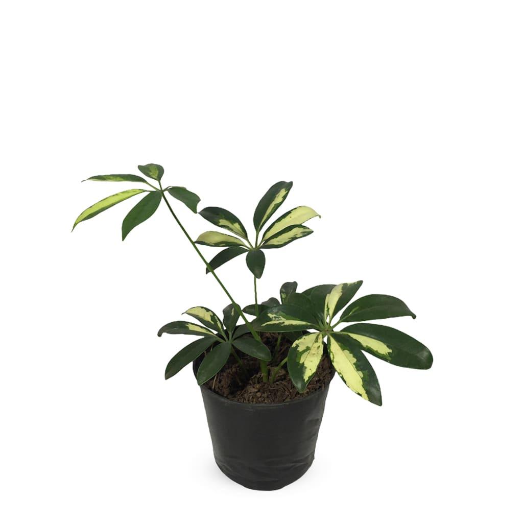 Plantas Faitful Plantas Interior Schefflera S - Plantas Faitful