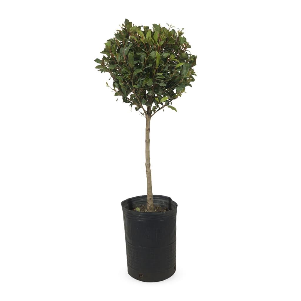 Plantas Faitful Exterior Eugenia Topiario - Plantas Faitful