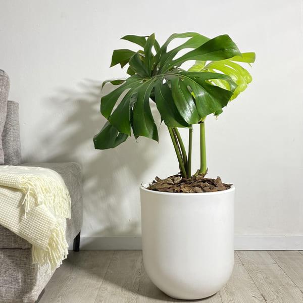 Plantas Faitful Plantas Interior Monstera Deliciosa M30 - Plantas Faitful