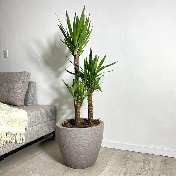 Plantas Faitful Plantas Interior Yucca M35 - Plantas Faitful