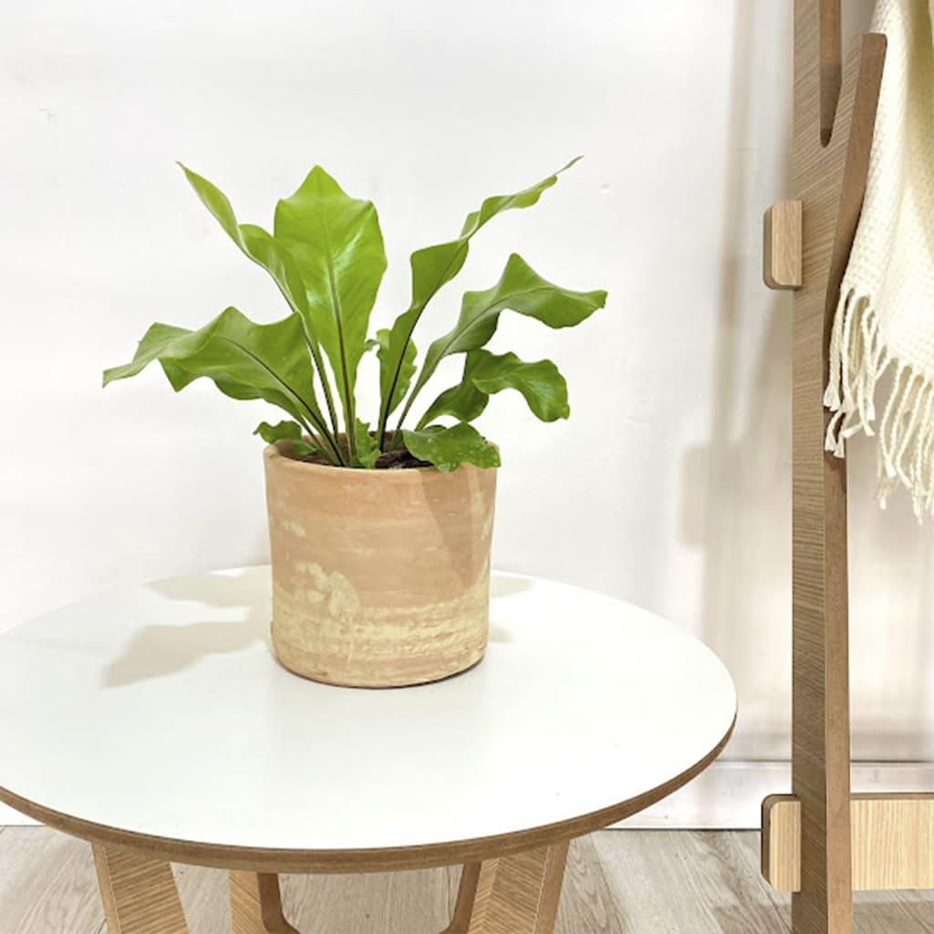 Plantas Faitful Combo Interior Asplenium M12 Cilindro Colonial 12 1 1 - Plantas Faitful