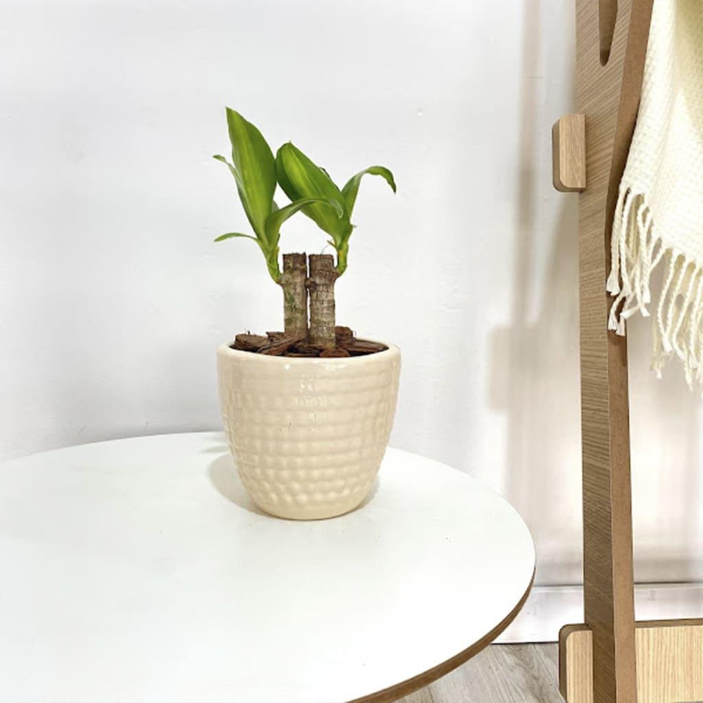 Plantas Faitful Combo Interior Massangeana Adoquin S 1 - Plantas Faitful