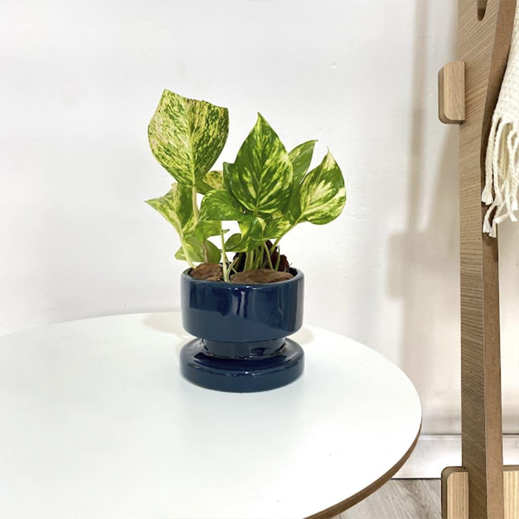 Plantas Faitful Combos Potus Bulon Chico 1 - Plantas Faitful