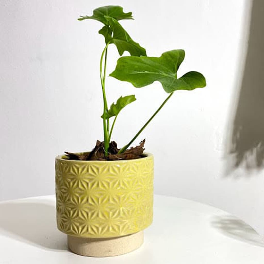 Plantas Faitful Maceta Ceramica 8 1 - Plantas Faitful