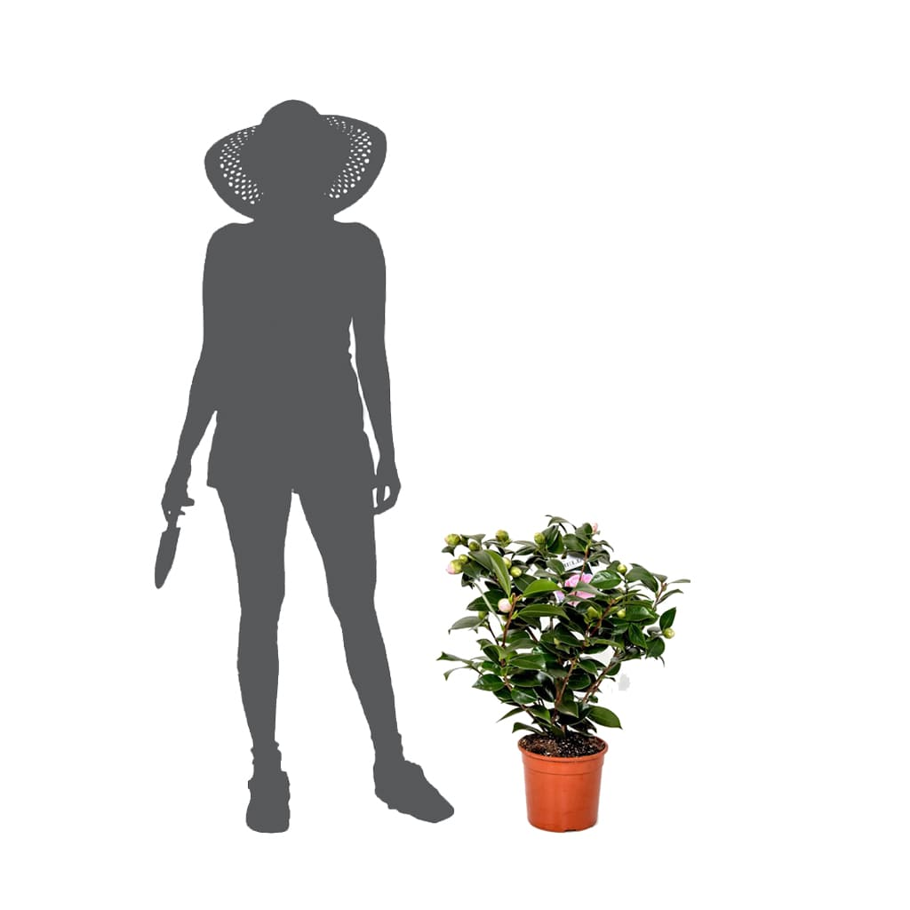 Plantas Faitful Plantas Exterior Camelia E5 - Plantas Faitful