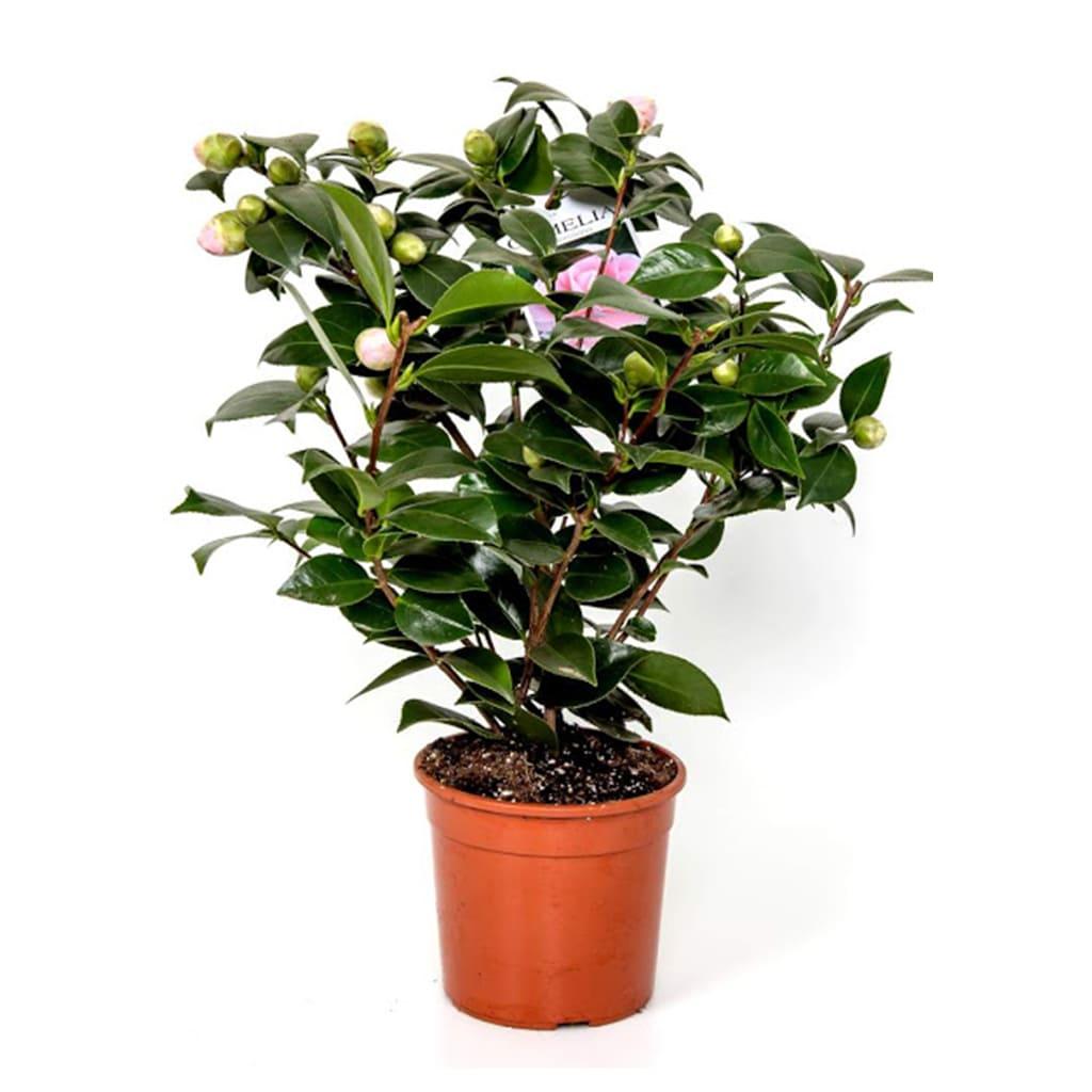Plantas Faitful Plantas Exterior Camelia E7 1 - Plantas Faitful