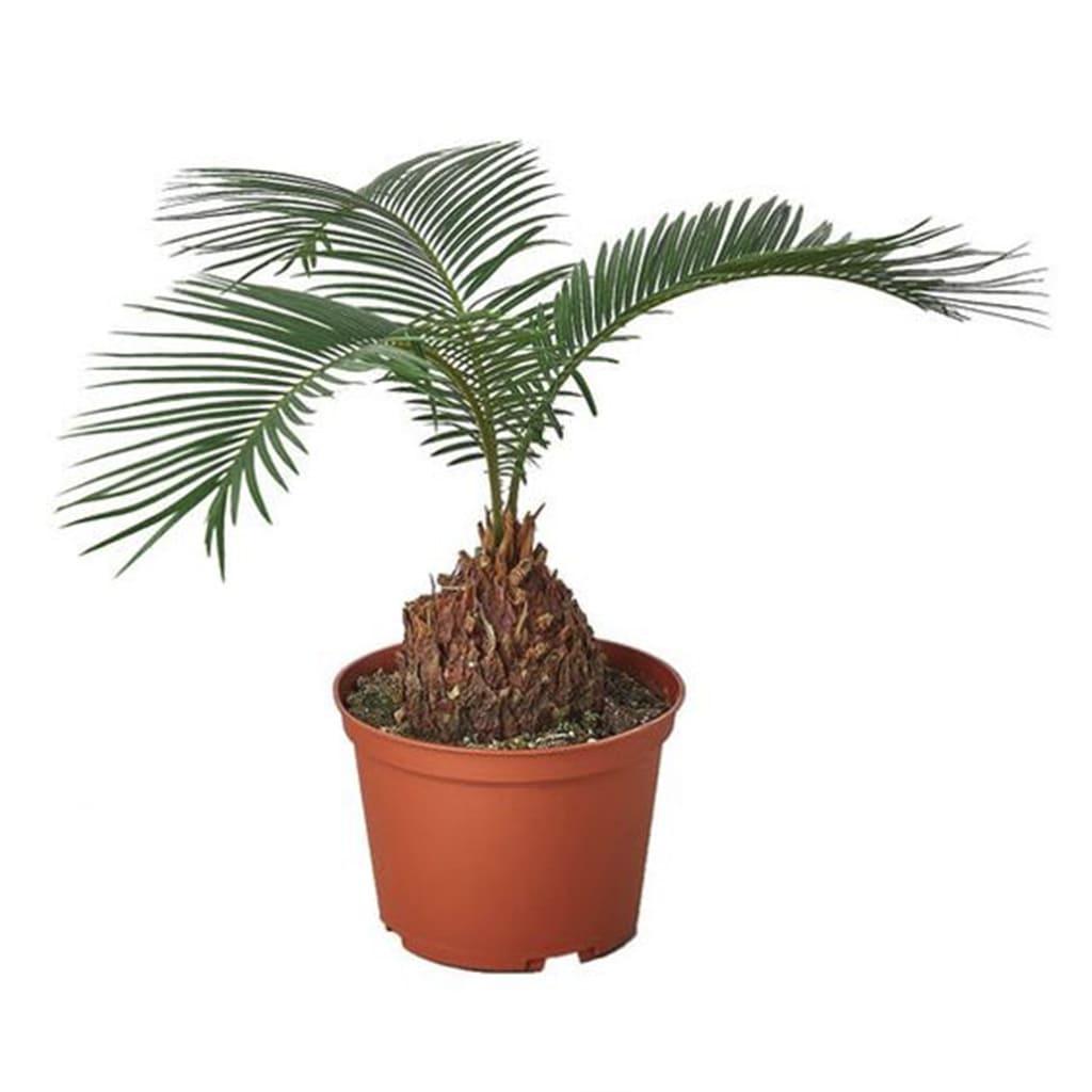 Plantas Faitful Plantas Exterior Cyca E3 - Plantas Faitful