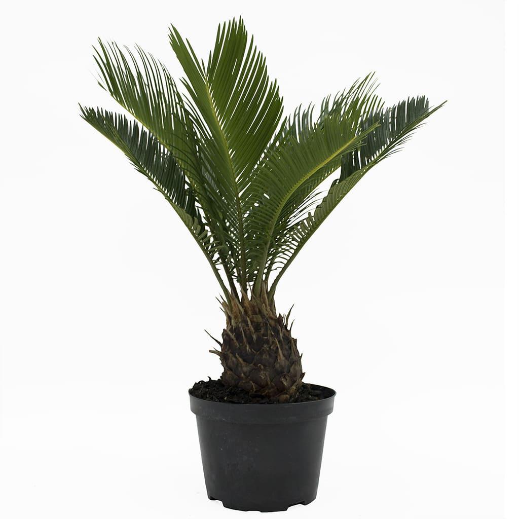 Plantas Faitful Plantas Exterior Cyca E5 1 - Plantas Faitful