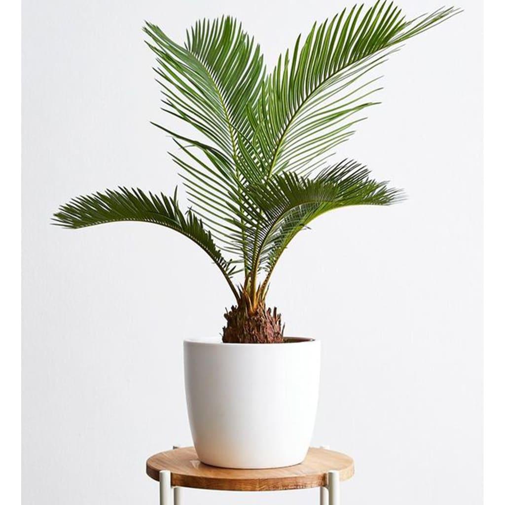 Plantas Faitful Plantas Exterior Cyca E5 - Plantas Faitful