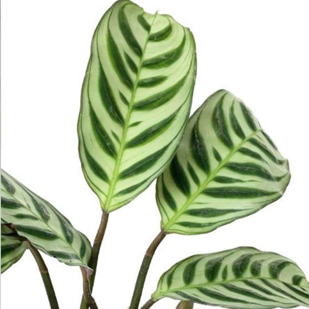 Plantas Faitful Plantas Interior Calathea Ctenanthe 1 - Plantas Faitful