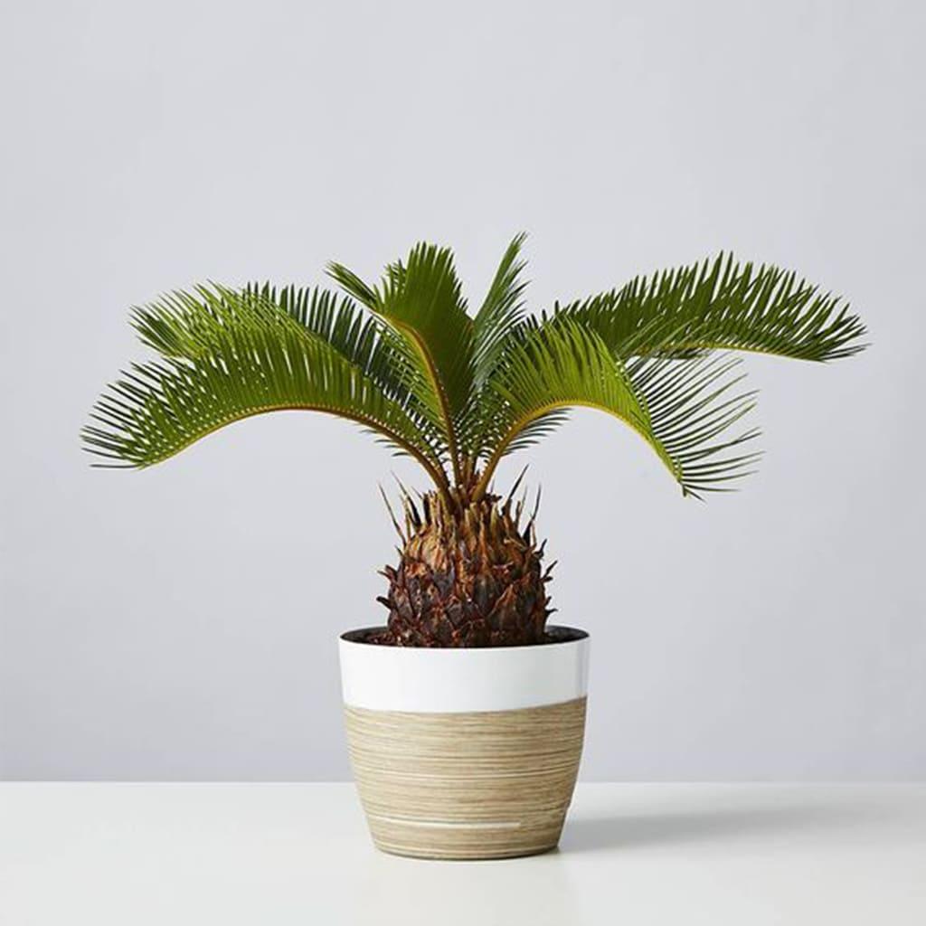 Plantas Faitful Plantas exterior cyca E3 1 1 - Plantas Faitful