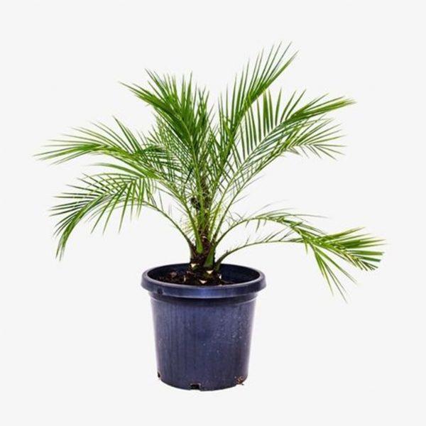 Plantas Faitful Plantas Exterior Phoenix roebellini 5lts con tronco 1 - Plantas Faitful