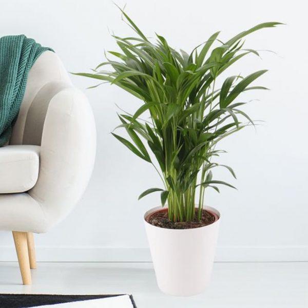 Plantas Faitful Plantas Interior Areca e10 1 1 1 - Plantas Faitful