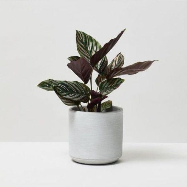 Plantas Faitful Plantas Interior Calathea Mil Rayitas M12 1 - Plantas Faitful
