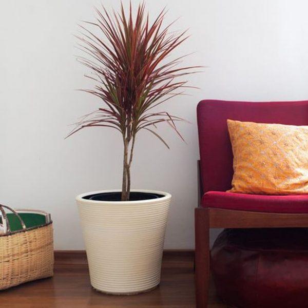 Plantas Faitful Plantas Interior Dracaena Marginata Tricolor E10 1 - Plantas Faitful