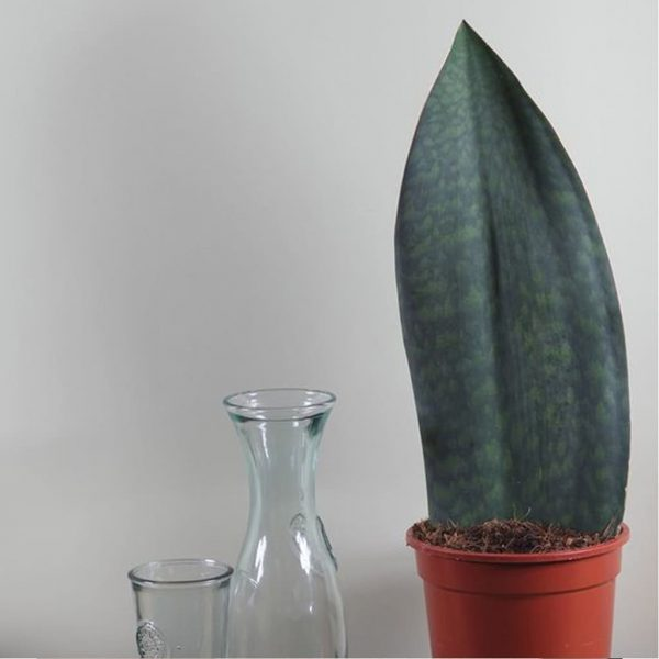 Plantas Faitful Plantas Interior Exterior Sansevieria Masionana M15 1 1 - Plantas Faitful