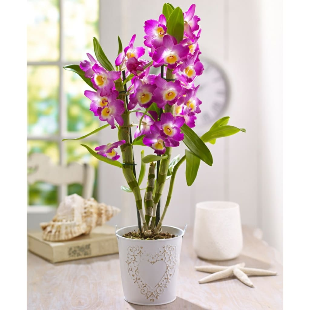 Plantas Faitful Plantas Interior Orquidea Dendrobium M13 1 - Plantas Faitful