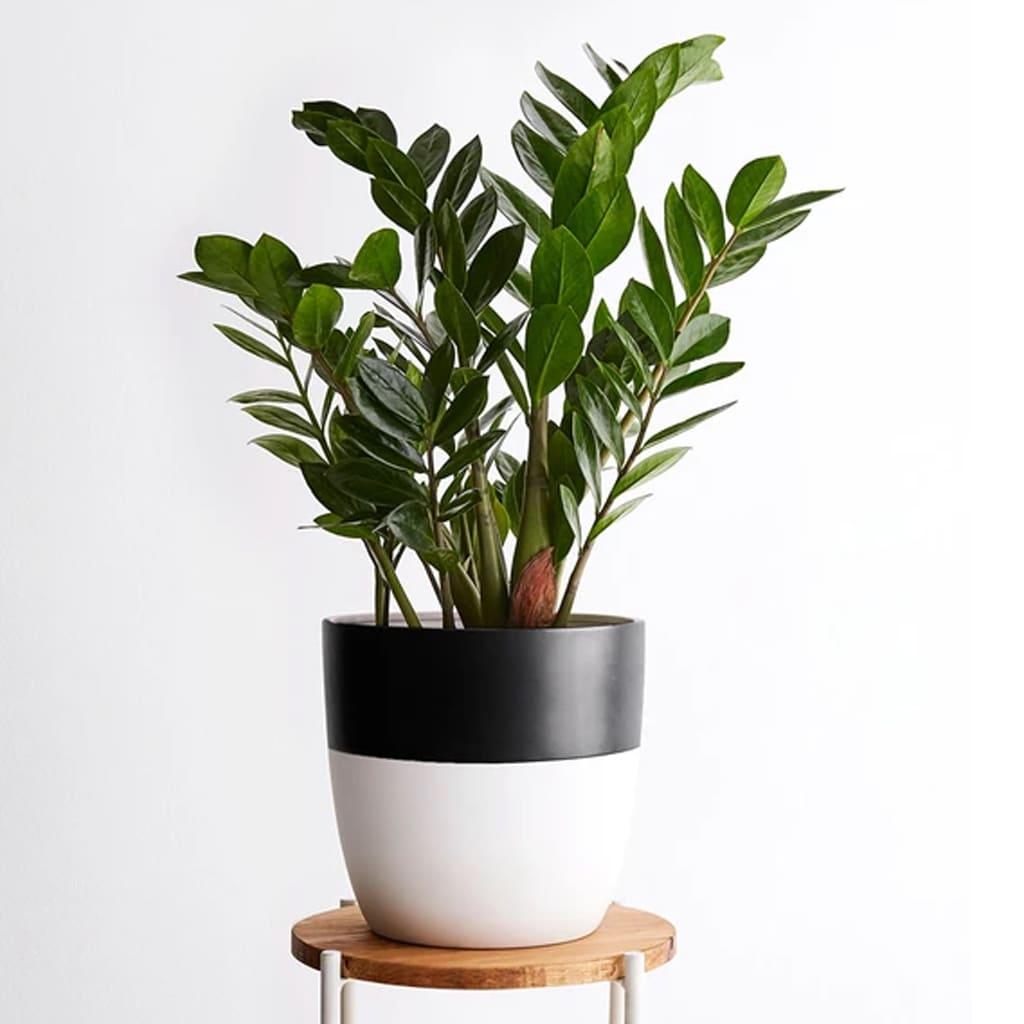 Plantas Faitful Plantas Interior Zamioculca M20 1 - Plantas Faitful