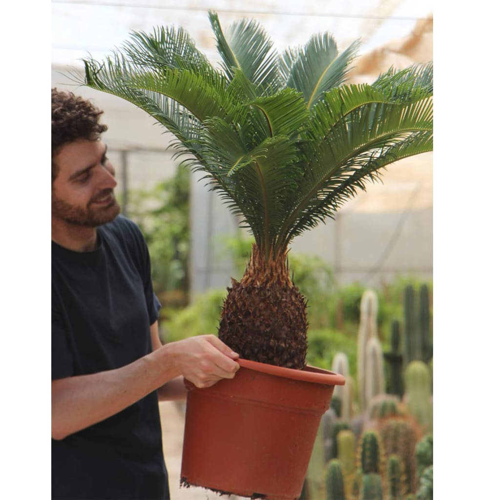 Plantas Faitful Plantas Interior exterior Cyca E10 2 - Plantas Faitful
